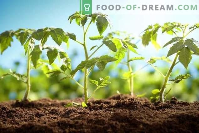 Planter correctement les plants de tomates