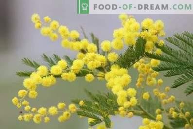 Kuidas hoida mimosa kohevaks vaasis